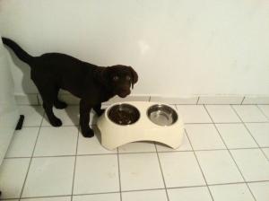 chiot labrador 3 mois mange